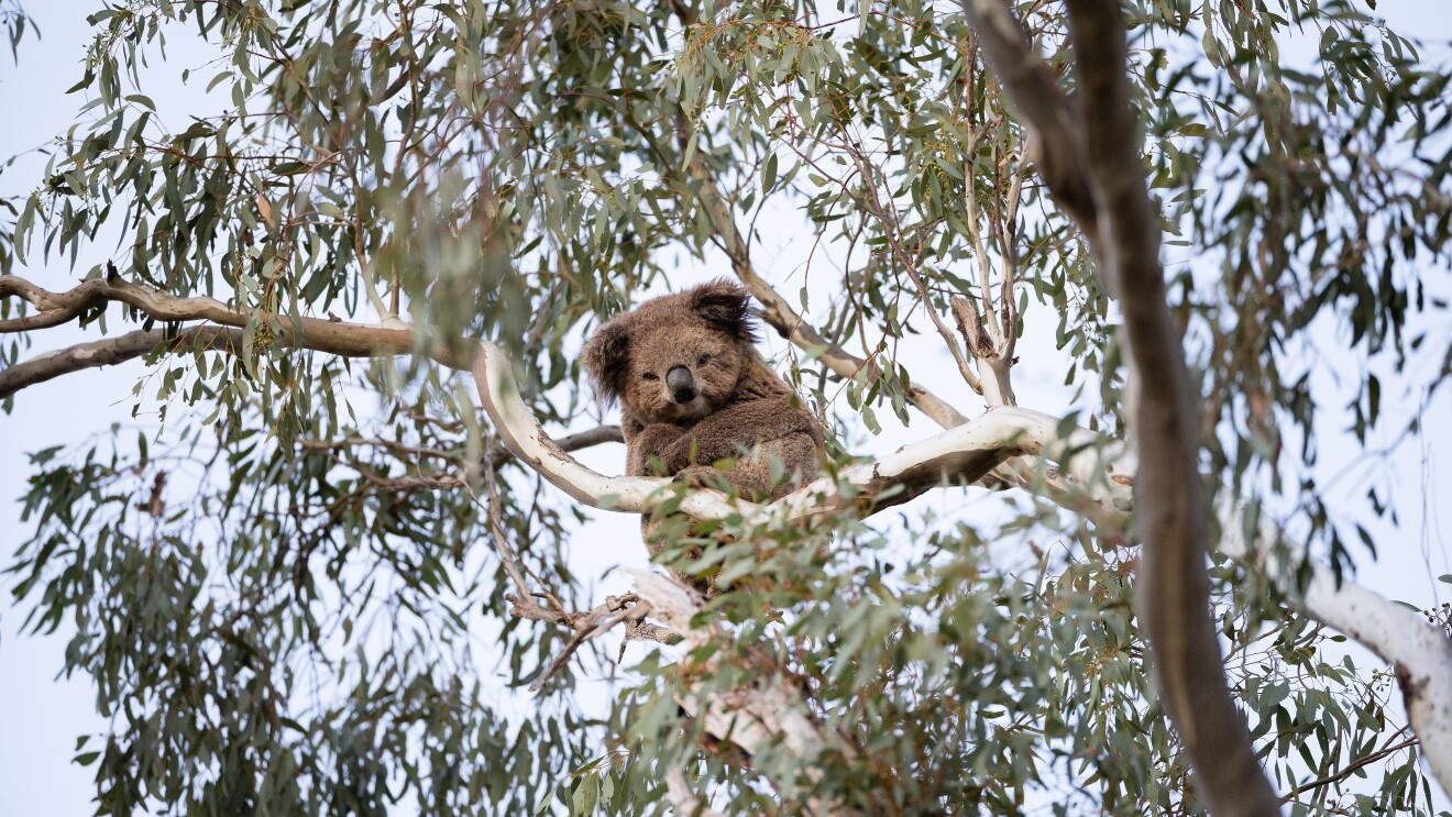 A koala crosses its arms and looks down from where it is sitting high in a tree branch.