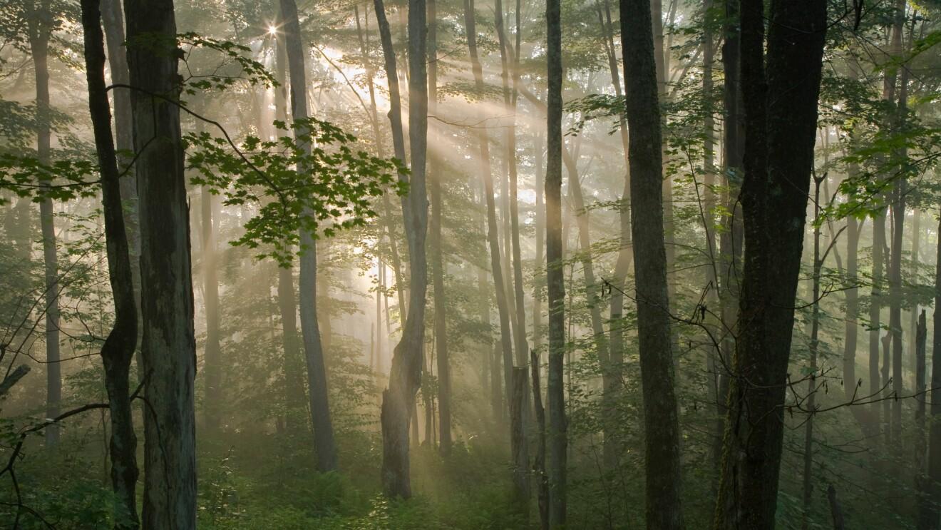 Sunbeams shining through a forest.