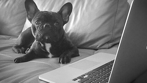 A French Bulldog sits on a sofa, next to a laptop computer.