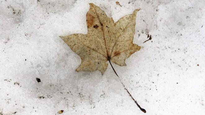 イタヤカエデの葉