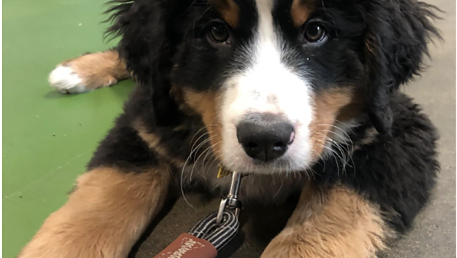 A Bernese Mountain dog puppy sits on the ground, looking up at the camera.