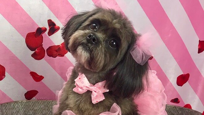 """A brown and black Shih Tzu sits in a galvanized bucket, wearing a tutu and bow at her neck, and tulle pom poms on her ears. In front of the bucket, a pillow that says """"You make my tail wag"""" is positioned."""