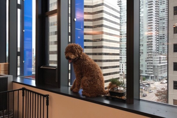 A brown poodle sits in an office window, overlooking skyscrapers and a Seattle street. The dog is looking at the photographer.