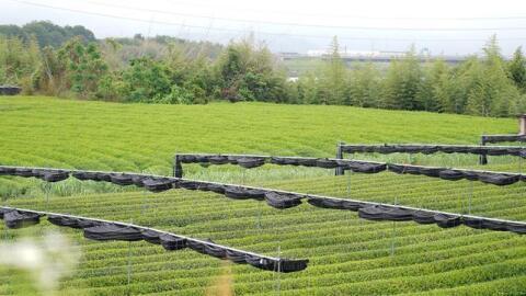 京田辺の特産品を活用した「抹茶あめ」で熱中症を防ぐ
