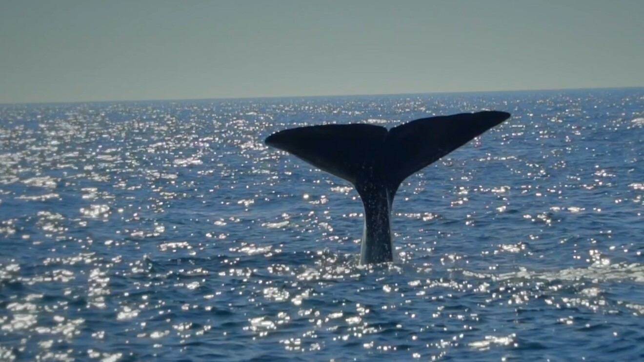A sperm whale tail above the water line in the Atlantic ocean.