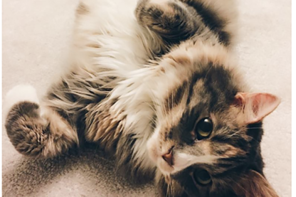 A domestic long hair cat lies on her back, looking directly into the camera, as she rolls on the floor.
