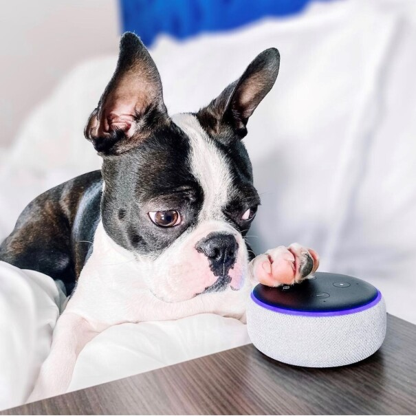 A black and white Frenchie is relaxing on a white blanket on a bed with his or her paw resting on top of Alexa.
