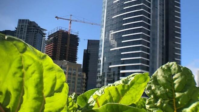 Amazon's rooftop organic vegetable garden, providing the harvest to FareStart restaurant