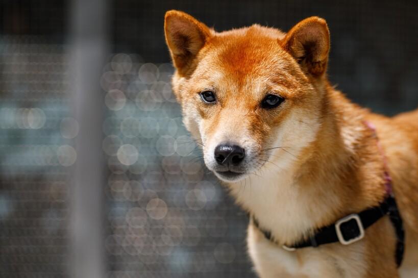 Dogs of Amazon - Momo