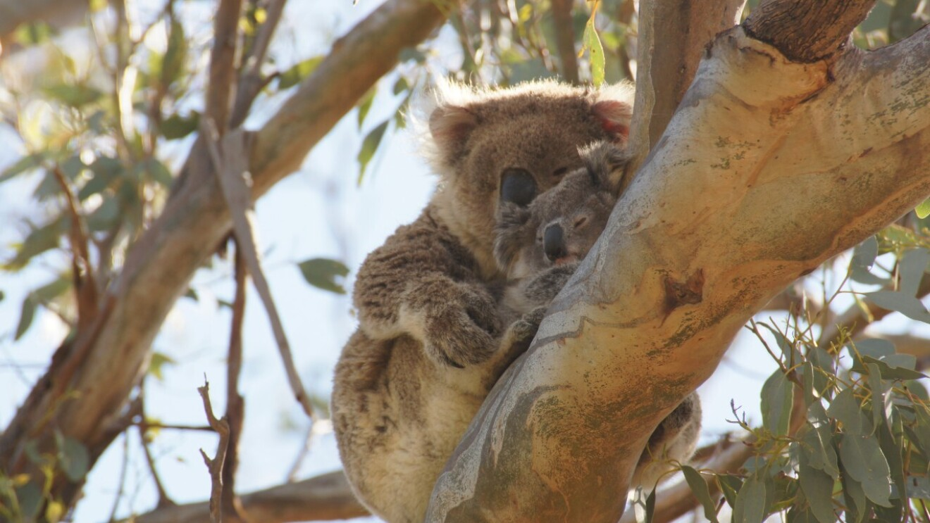 An adult koala protects a baby koala while they balance on the branch of a tree.