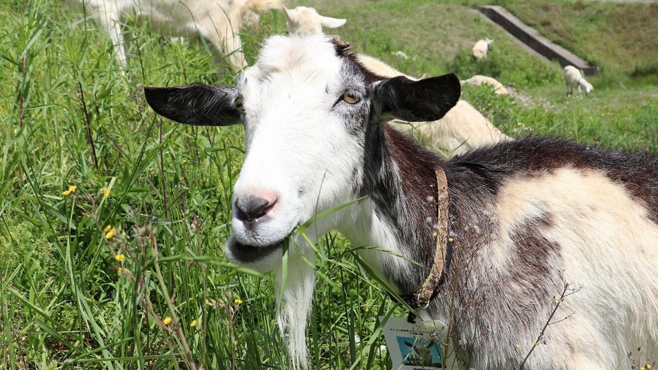 多治見FCでヤギによる「エコ除草」をスタート!