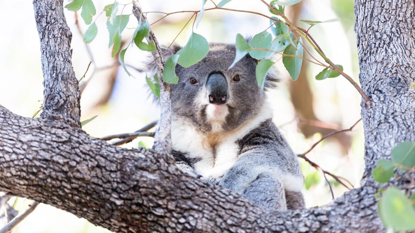 A koala sits on a tree branch high in a tree.