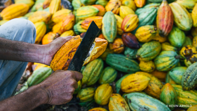 A farmer manually harvests the cocoa pods using a sharp blade.