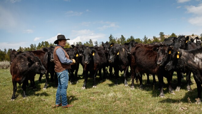A man in a cowboy hat stands in front of a herd of cattle in Wyoming.