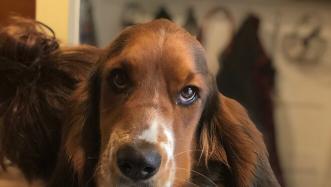 A Basset Hound leans against the arm of a sofa, looking into the camera, while wearing a tie.