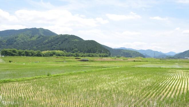酒米を育てている田圃