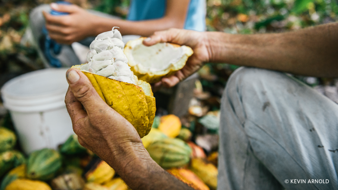 A farmer removes the cut piece of the pod shell to find white and wet cocoa beans.
