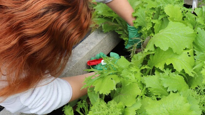 A woman works to harvest greens from a rooftop organic garden on Amazon's Seattle campus.