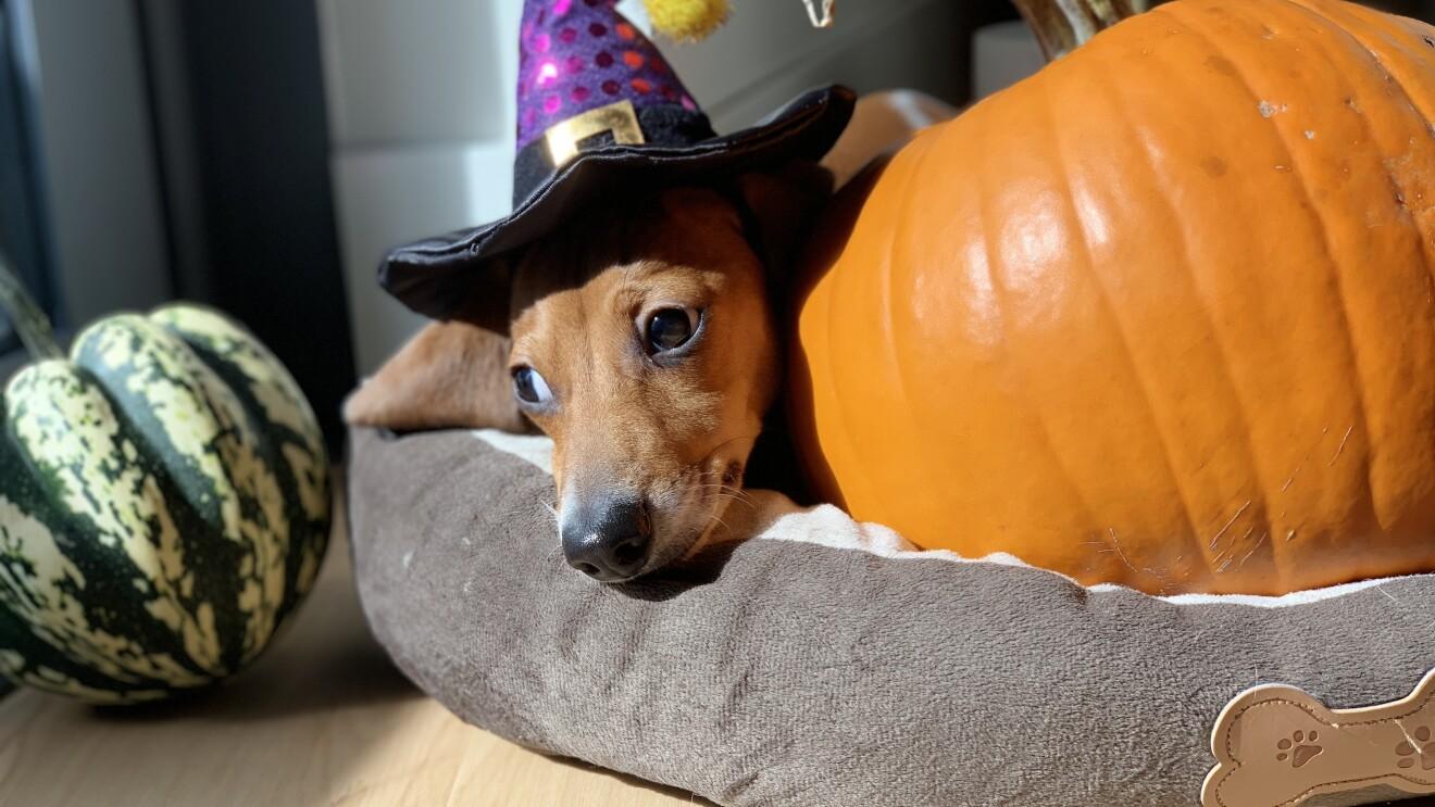 Halloween 2018 boxtumes and pets