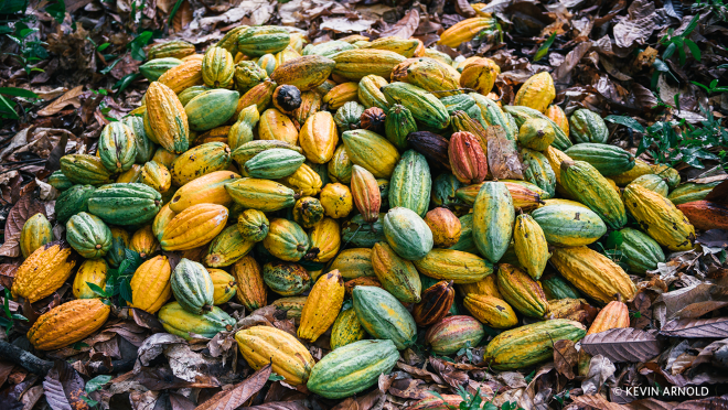 A large pile of ripe pods containing cocoa beans await harvesting.