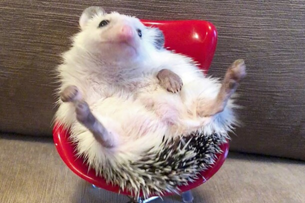 A hedgehog sits in a tiny red office chair.
