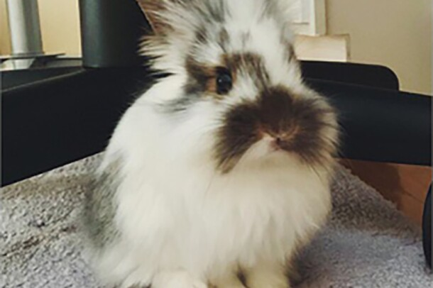 A Long-haired rabbit with white and brown fur sits on a rug inside a home.