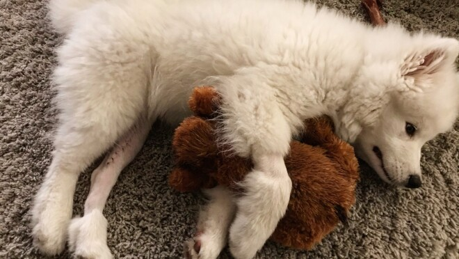 A small, white, furry dog lays on the ground holding a toy.