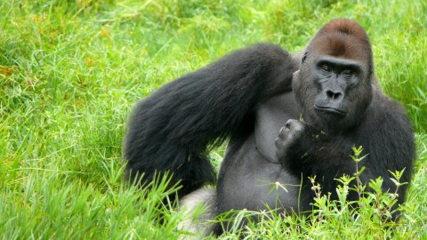 A gorilla sits in a grassy area with one hand at its hip and the other hand at its chin.